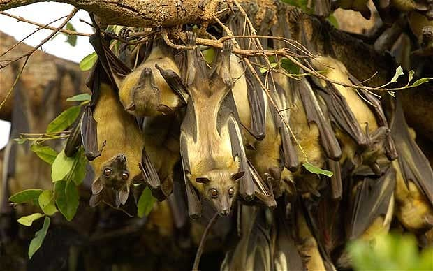 Fruit bats roosting.