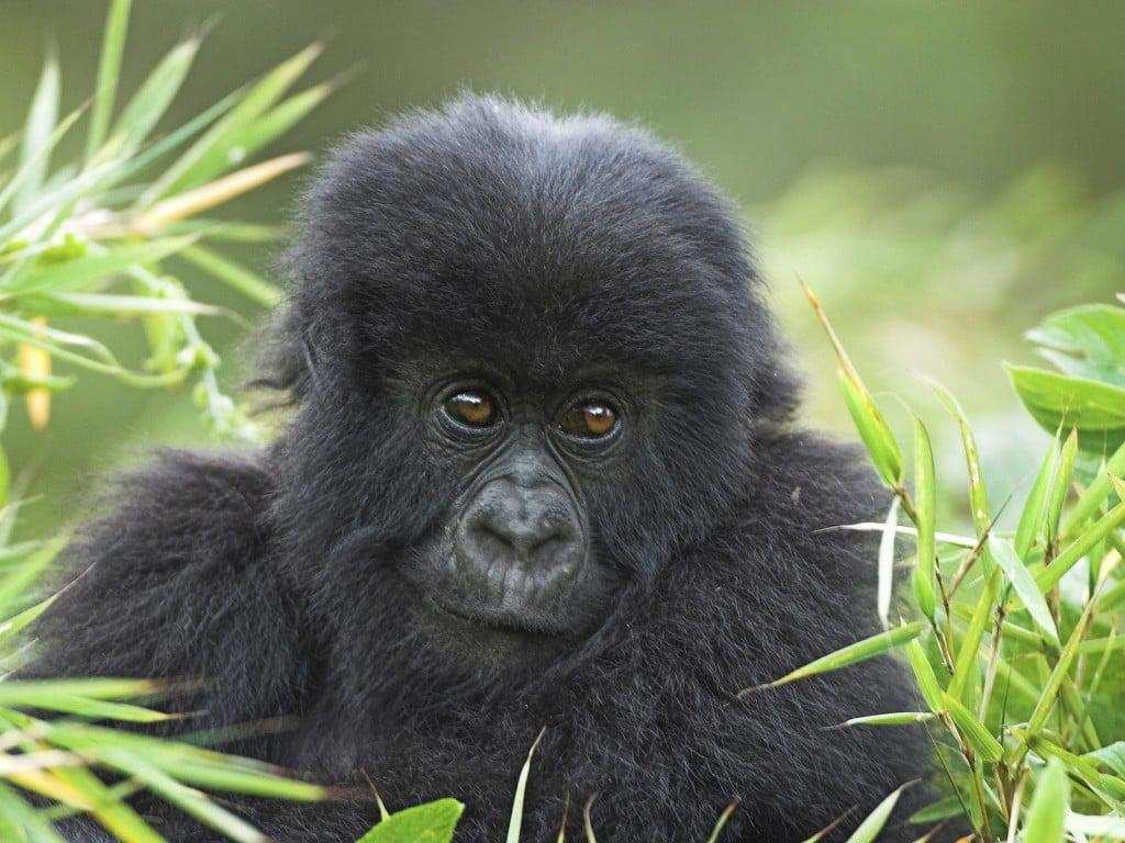 Mountain Gorilla in the Forests of Uganda