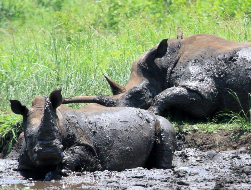 Rhinos enjoying a mud bath