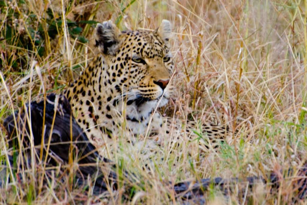 Leopard © Jeff McClay