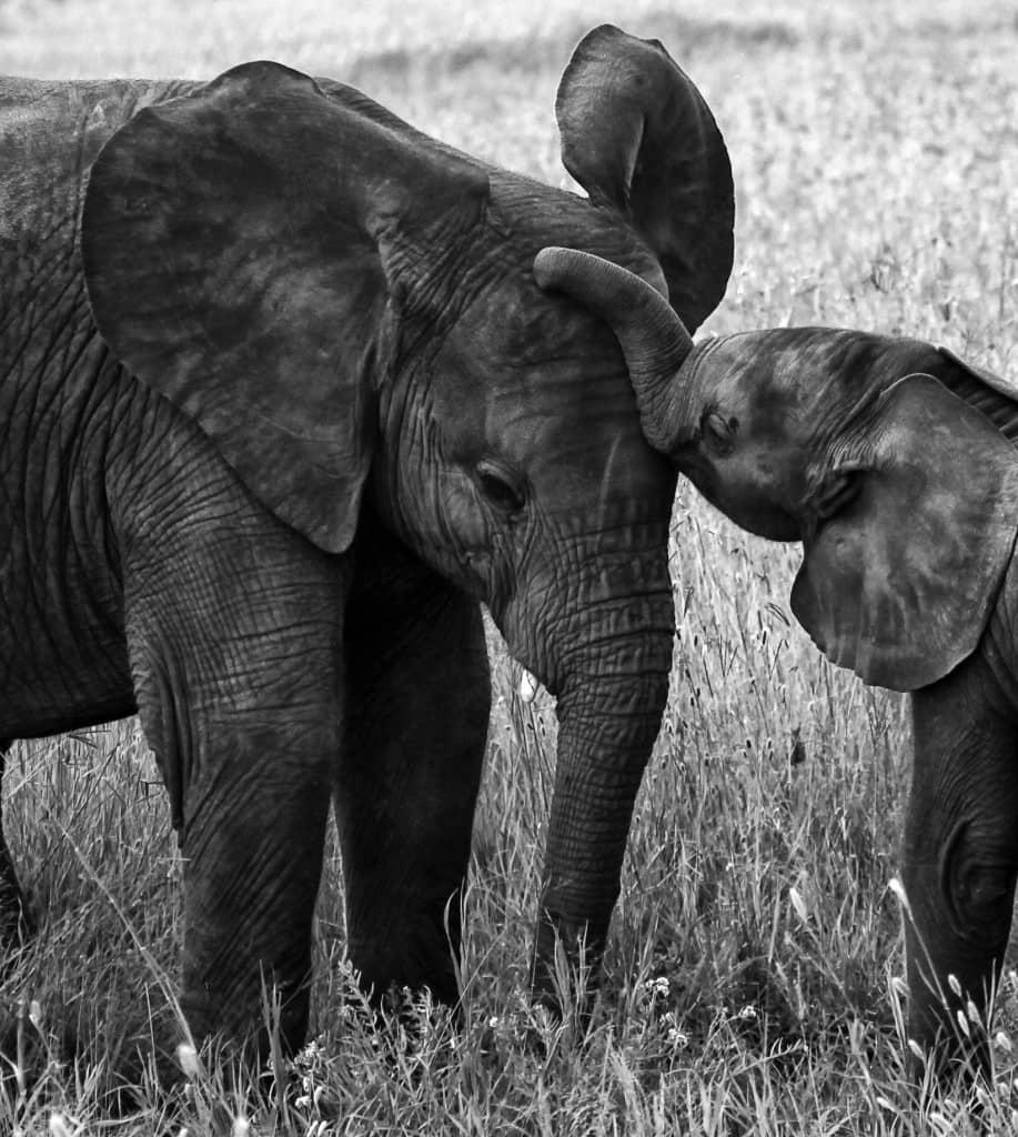 Elephants were the Sheldrick's great love