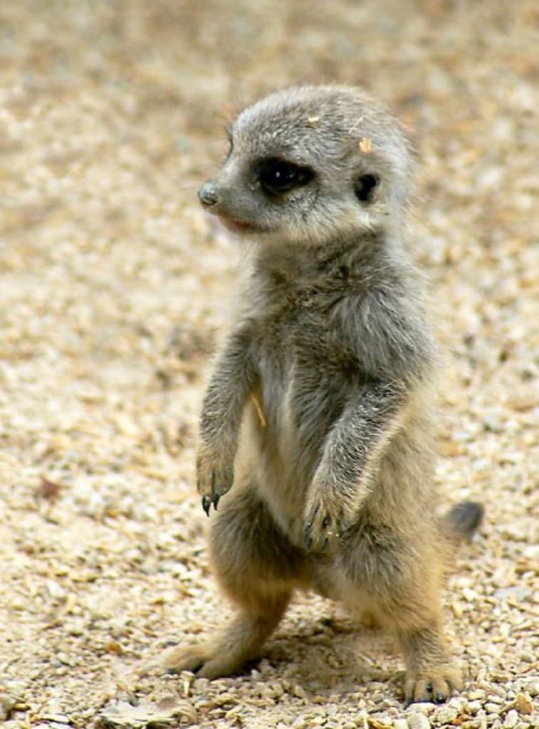 baby-meerkat