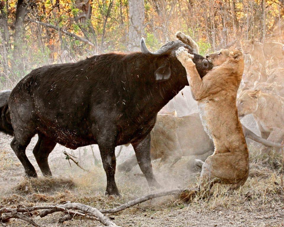 african-safari-buffalo-lion-kill