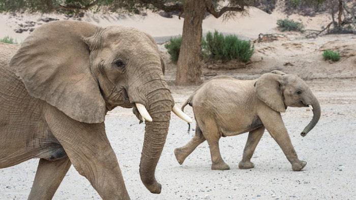 desert-elephants
