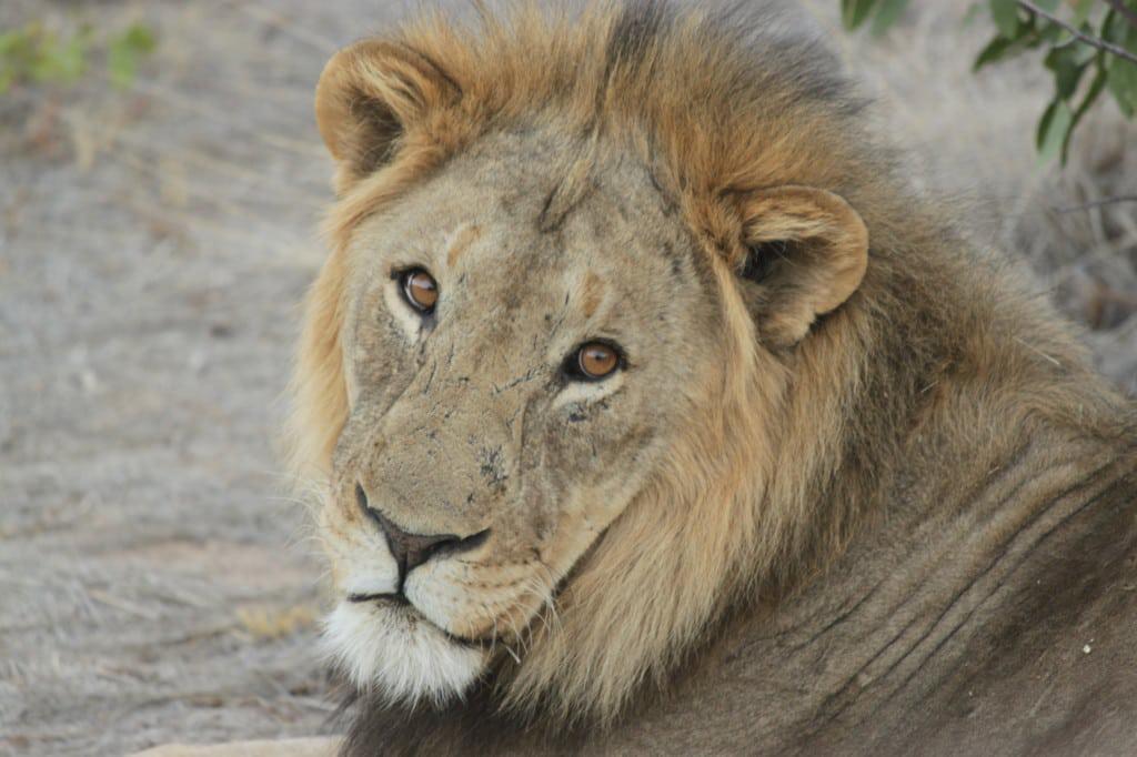 lion_namibia