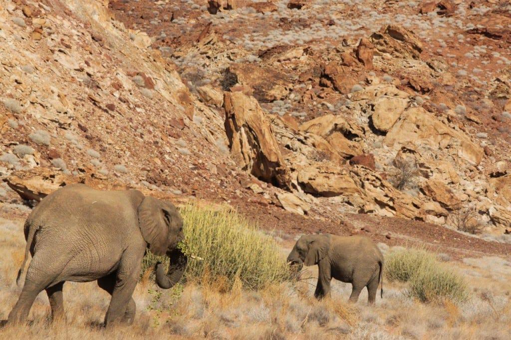 Desert Elephants travel great distances for food daily.