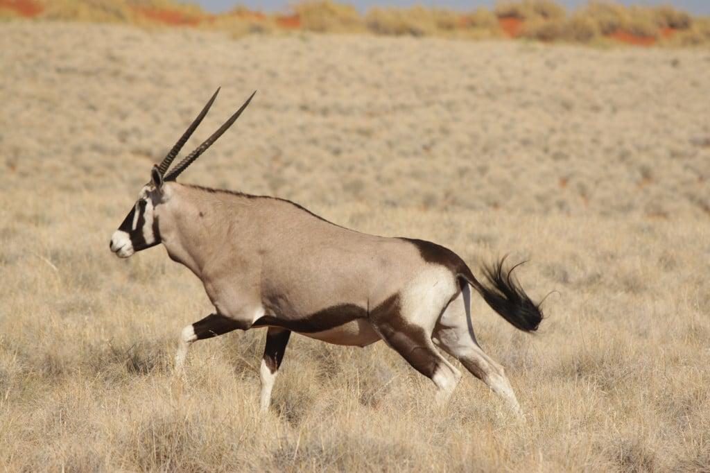 The Namibian Oryx.