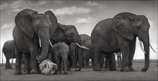 nickbrandt-elephant