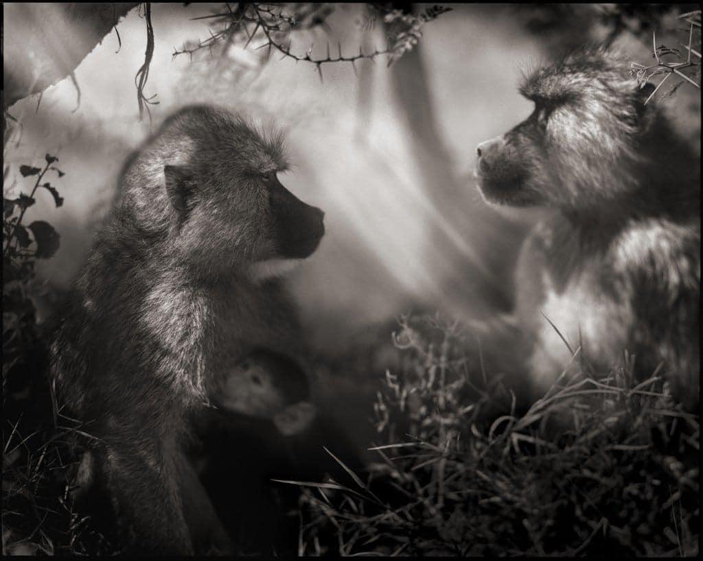 nickbrandt-baboons