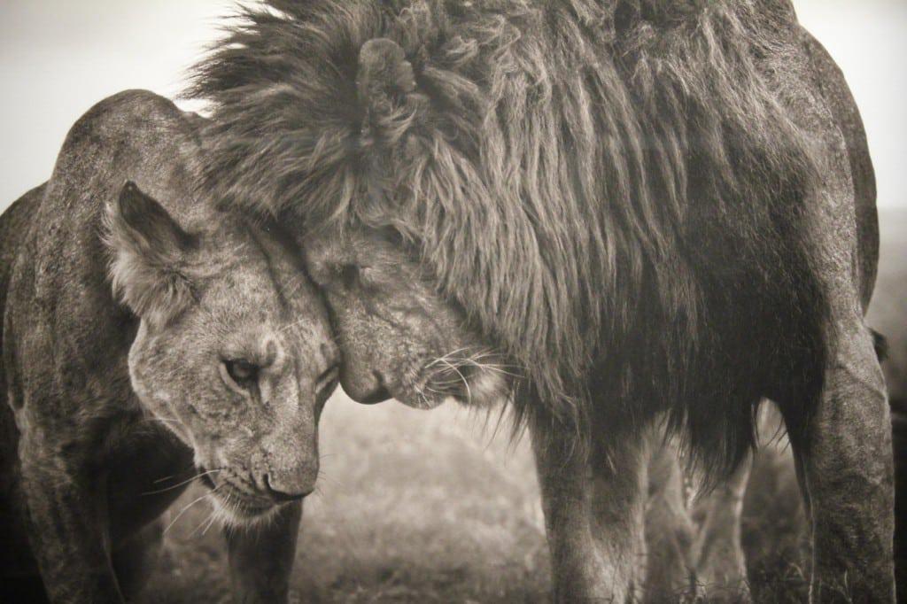 nickbrandt-lions