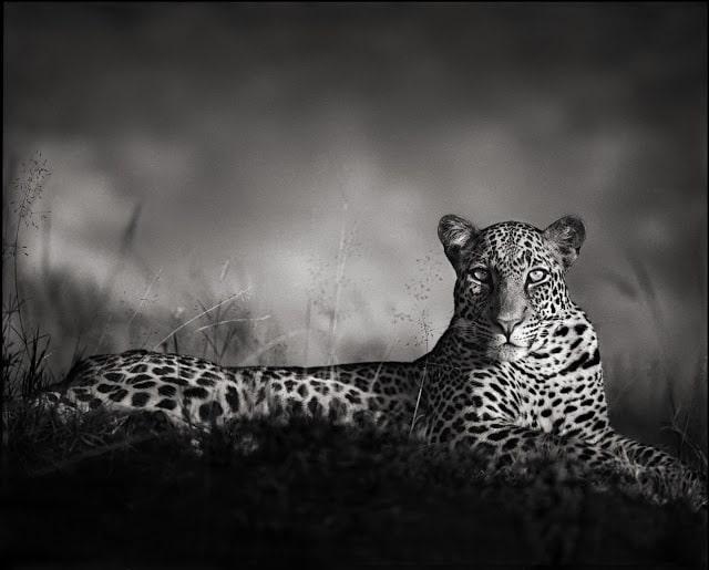 nickbrandt-leopard
