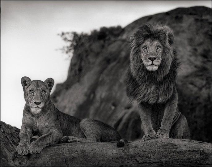 nickbrandt-lioncouple