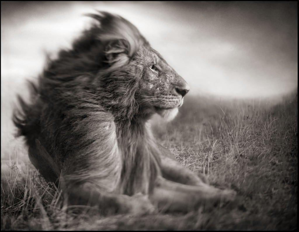 nick-brandt-lionmale