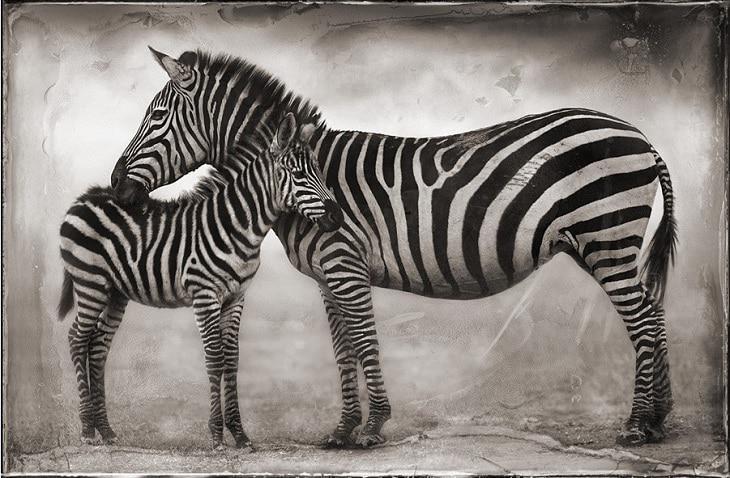 nick-brandt-zebras