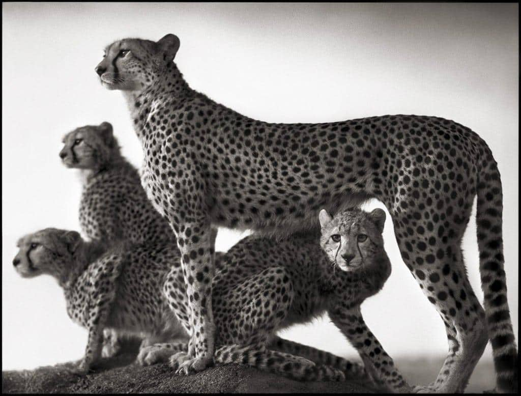 nickbrandt_cheetahs