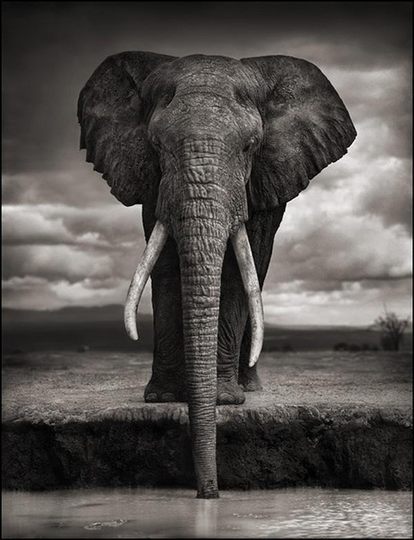 nick-brandt-elephantbull