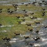 zebra-okavango-delta-botswana-landscape-nature-hd-city-229603 (1)
