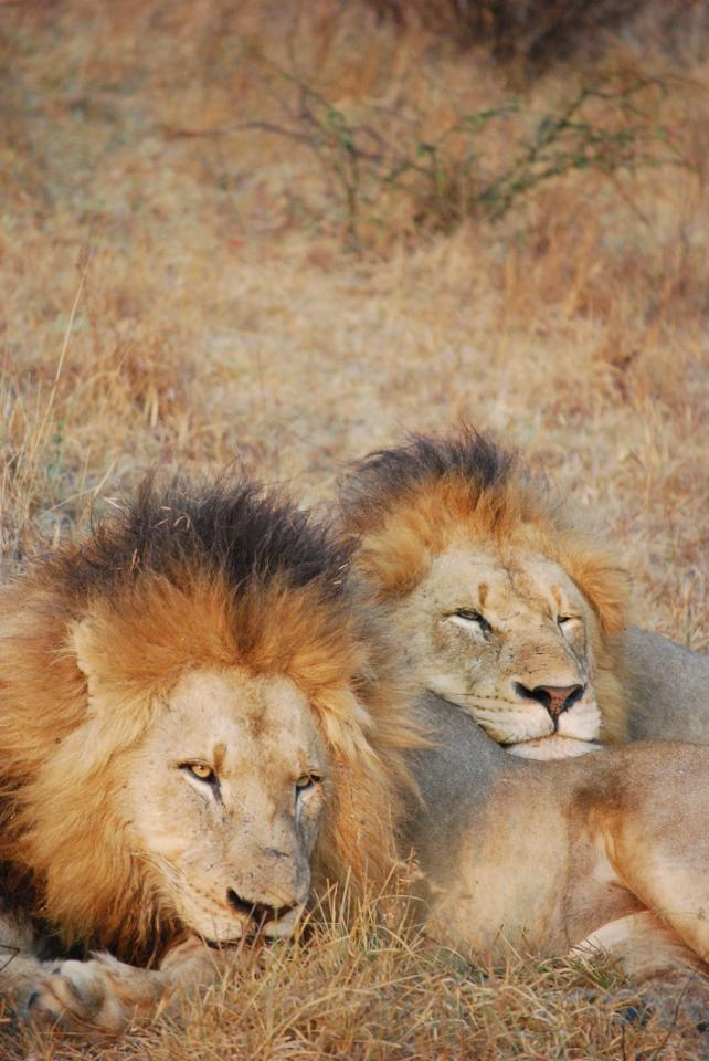 sabi_sand_lion_3