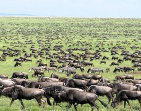 masai mara migration  600x350