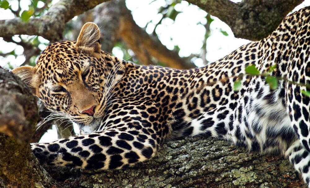 leopard_in_tree