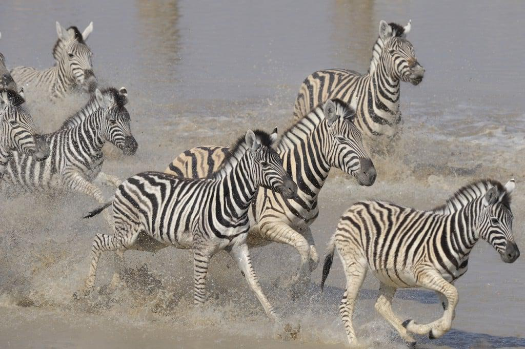 Zebra migration in full flight.