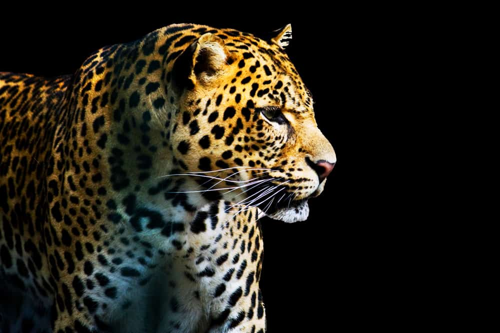 Leopard in the night.