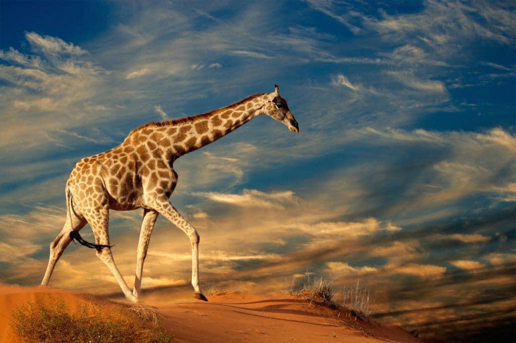 Giraffe Sandstorm