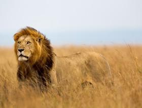 lion big male