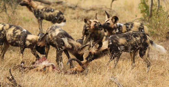 Londolozi wild dogs blog Richard Burman