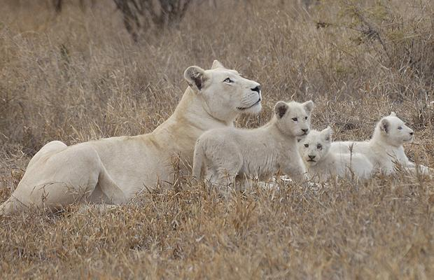 White Lions and cubs