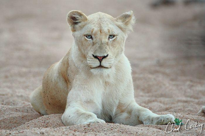White Lions photo credit Chad Cocking