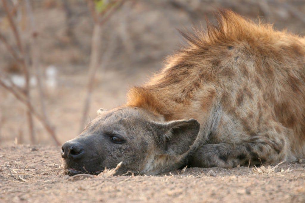 hyena resting