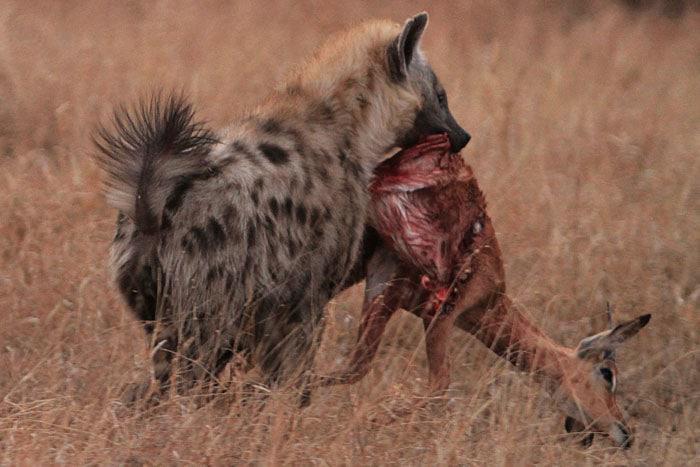 Spotted male hyena impala kill