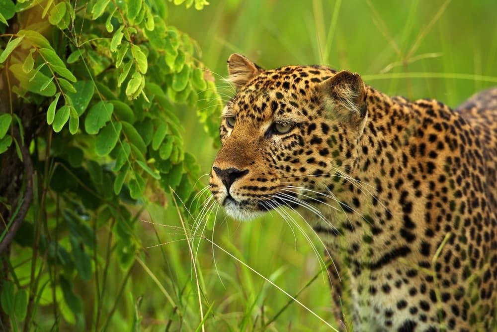 leopard emerald season