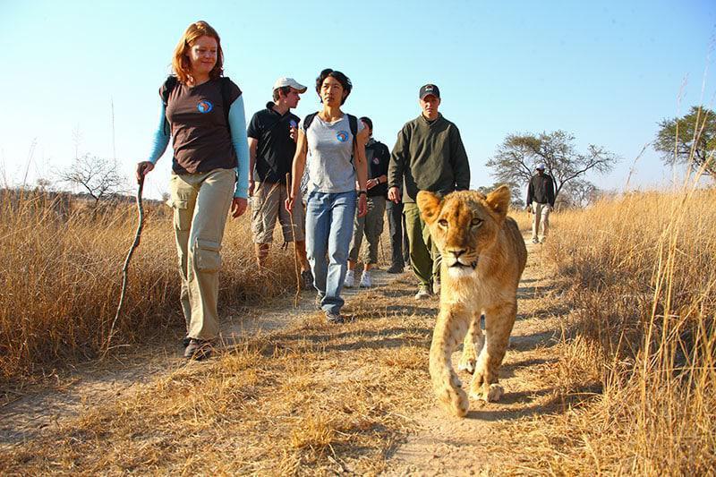 Lion Walk Zambia