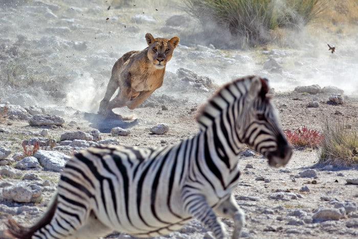 lioness hunting zebra