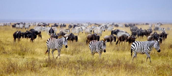Zebras migrating