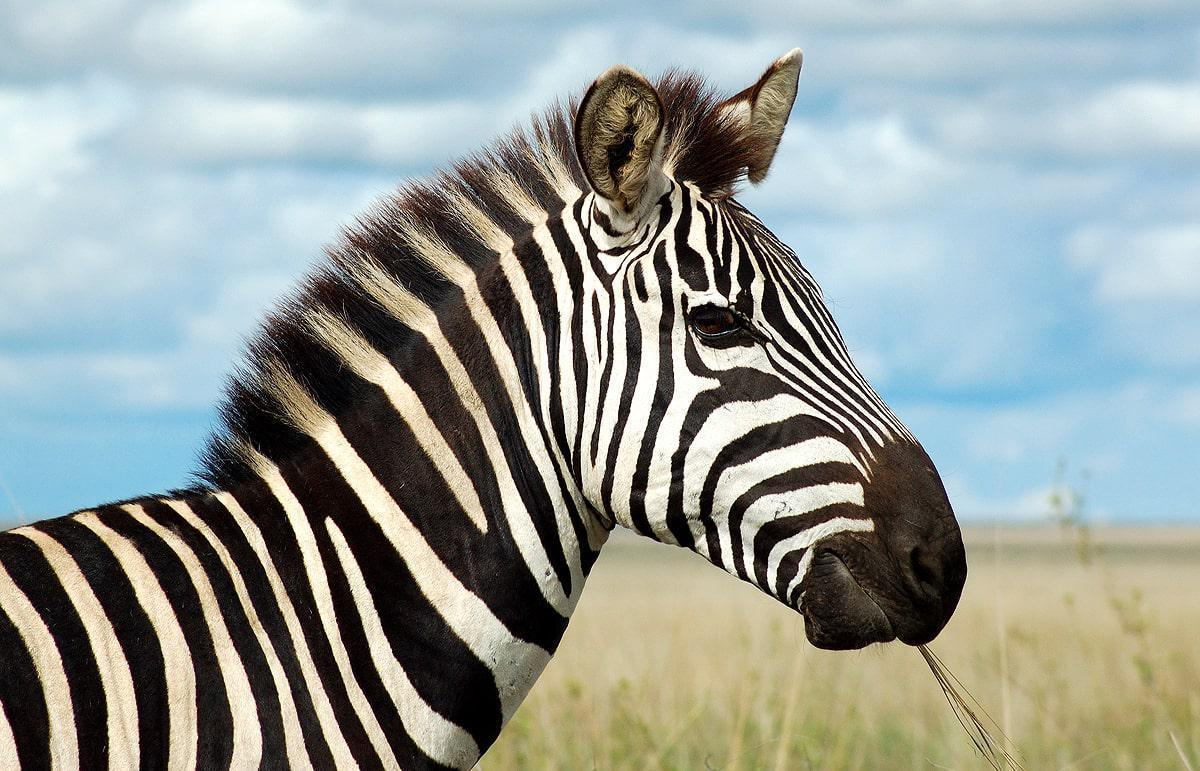 zebra with its unique coat calmly munching on a blade of grass in ...