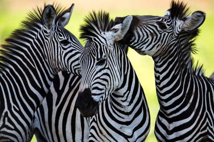 zebras grooming