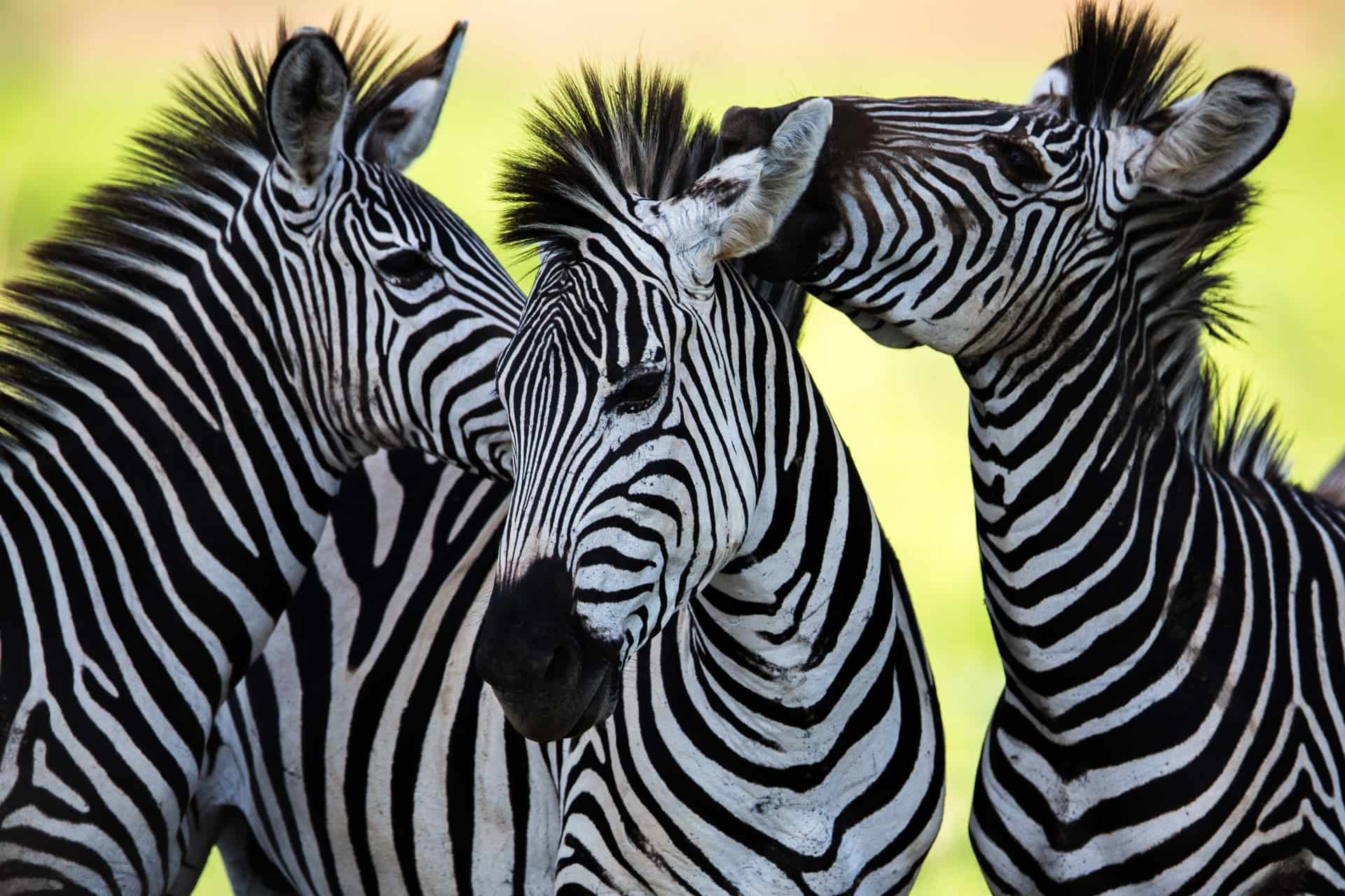 the zebra one of africa u0027s most beautiful creatures