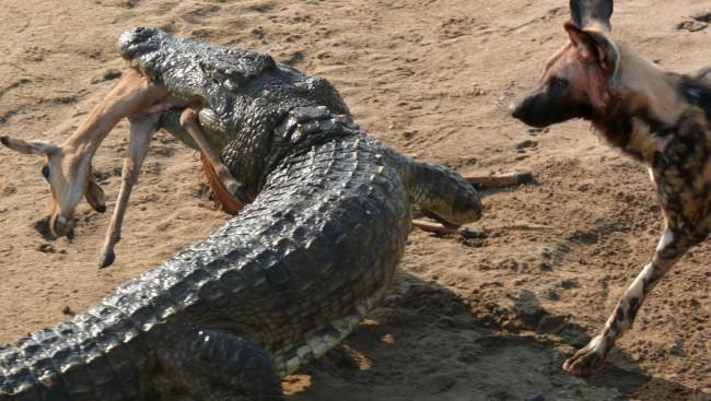 Nile crocodile steals wild dogs kill