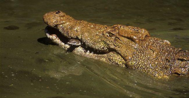 Nile female croc releasing hatchlings pic Roger de la Harpe