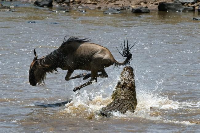 Crocodile trying to catch buffalo