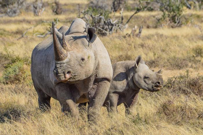 Rhino with her calf