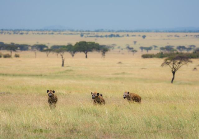 Big predators dominate the landscape in the Lamai Wedge with this trio of hyena being part of a clan of 130 strong!