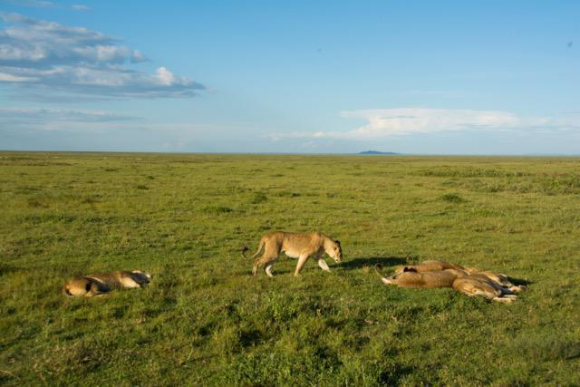 Finding lions on this vast plain is not as easy as you would think - this pride were the exception however