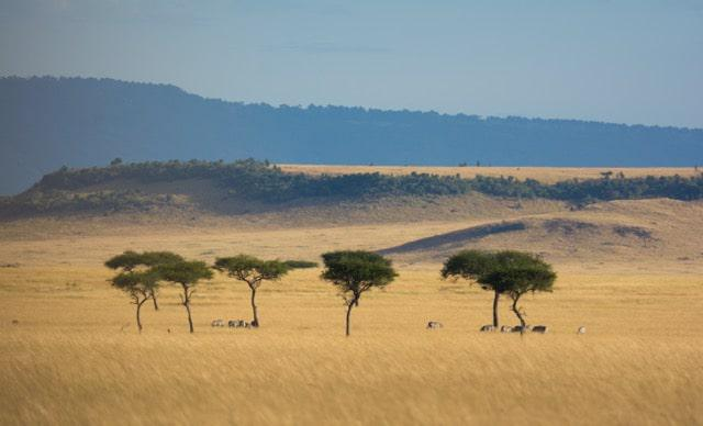 In my opinion, the most beautiful part of the northern Serengeti - the Lamai Wedge - has Acacia trees forming islands of shade in a sea of grass