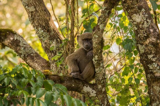Olive Baboon in casual repose within Arusha National Park. Common residents and never short of entertaining
