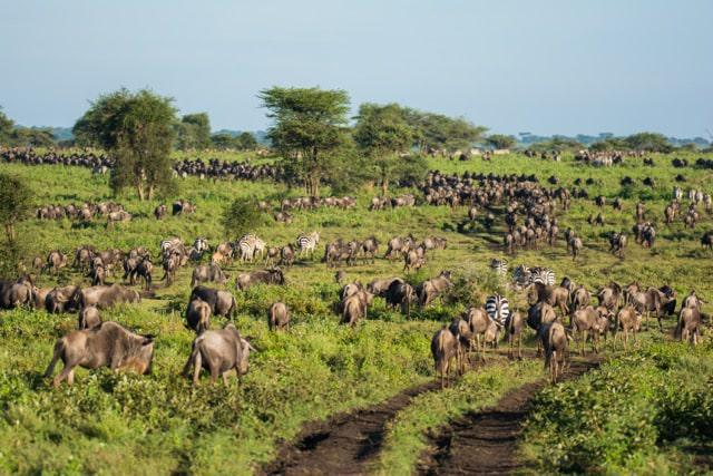 The great migration is a continuous stream of animals along ancient trails in search of better grazing