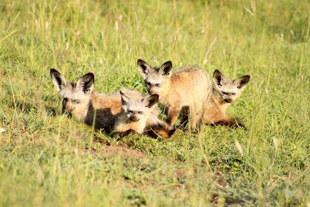 Bar ear fox mara1